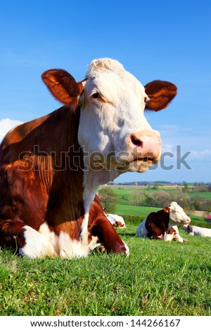 Portrait of cow on a green meadow at sunny day
