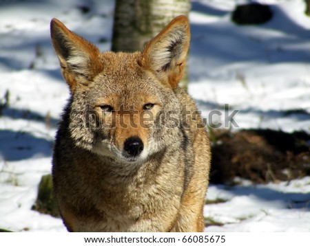 Portrait of coyote