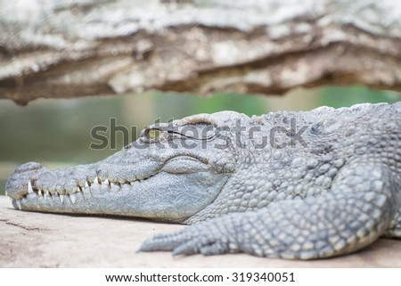 Portrait of crocodile sunbathing during the day #319340051