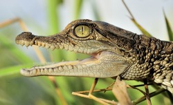Portrait of Cub of a crocodile. Small crocodile cub already with a rage, threatening, opens a large-toothed mouth. New Guinea
