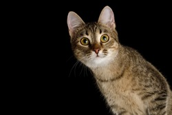 Portrait of Curious face Domestic Cat, Isolated Black Background, Front view