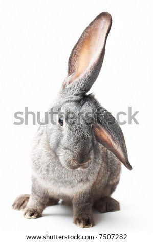 portrait of curious rabbit on white