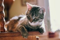 portrait of curious whisker kitten lying on an antique wooden cabinet at home indoor