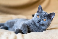 Portrait of cute blue british short hair kitten. Selective  focus.