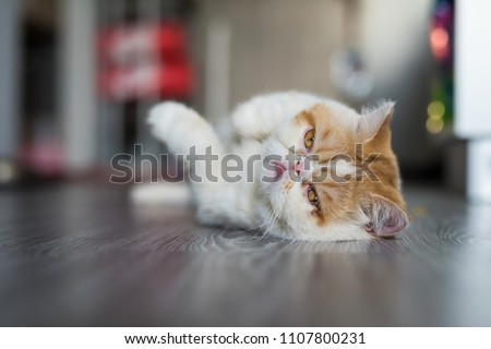 Portrait of Cute Brown Exotic shorthair cat relax on gray wooden floor with copy space for text. Adorable animal or pet inside house or home. best human friend.