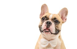 Portrait of cute brown french bulldog wear white bow tie isolated on white background and clipping path, pet and animal concept