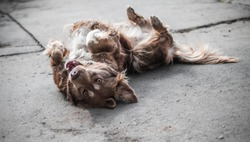 Portrait of cute brown or red dog chained and playing on old rustic courtyard. Happy playful dog playing laying on its back and looking into camera.