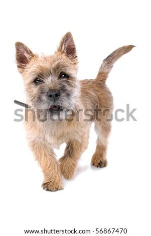 cairn terrier puppies. cute cairn terrier puppy