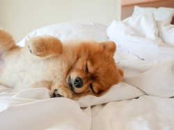 portrait of cute dog is lying and sleeping on pillow blanket in bed. for pet care and animals concept