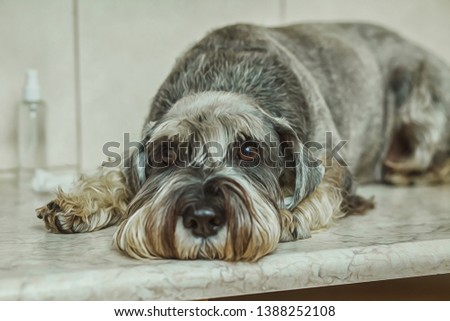 Portrait of cute dog standing on the table while visiting veterinary clinic. Pet care concept. Breed - Schnauzer. Breed - Schnauzer #1388252108