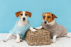 Portrait of cute dogs in knitted blouses, studio photo of Jack Russell puppy and his mom. Friendship, love, family concept.