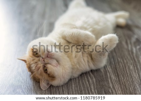 Portrait of cute Exotic shorthair cat relax on wooden floor with copy space for text. funny animal or pet inside house or home. best human friend. Closeup Portrait.