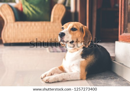Portrait of cute female beagle dog. #1257273400