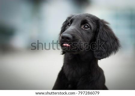 portrait of cute flat coated retriever black puppy #797286079