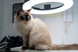 Portrait of cute fluffy himalayan cat / kitten with blue eyes sitting on white table under photo ring light, looking to side