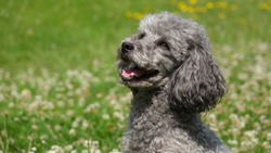 Portrait of cute grey poodle sitting in flowering meadow