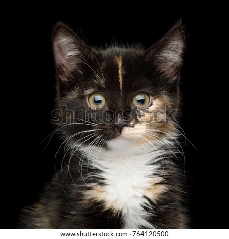 Portrait of Cute Kitten with tortoise fur on isolated background, front view
