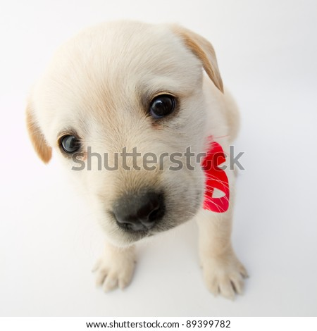 Portrait of cute labrador puppy