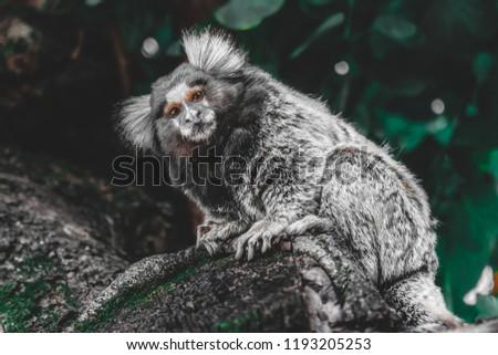 Portrait of cute little marmoset, new world monkey, primate
