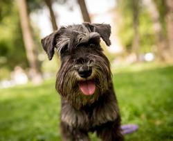 Portrait of cute miniature schnauzer at the park.