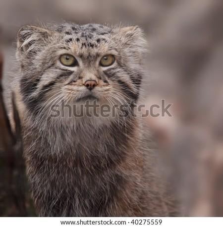 Portrait of cute Pallas\'s cat