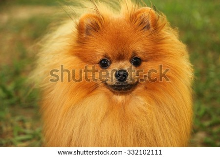 Portrait of cute pomeranian dog. Autumn dog. #332102111