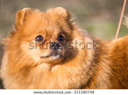 Portrait of cute pomeranian spitz dog #351580748
