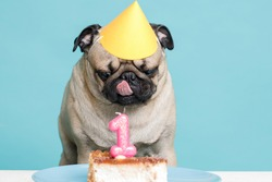 Portrait of cute puppy of the pug breed with party hat on head and birthday cake. Little smiling cheerful dog on blue background. Free space for text.