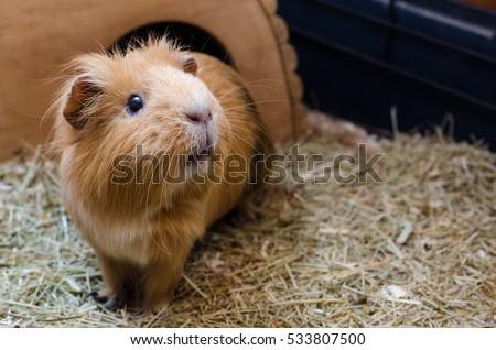 Portrait of cute red guinea pig. Close up photo. #533807500