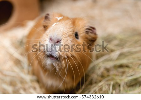 Portrait of cute red guinea pig. Close up photo. #574332610