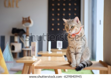 Portrait of cute Scottish cat standing straight on the table and wear orange scraf at cat cafe Thailand #629840945