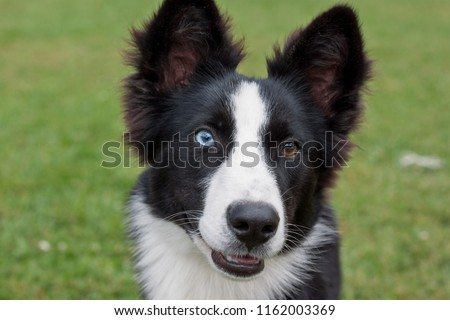 Portrait of cute yakutian laika puppy with different eyes. Close up. Pet animals. #1162003369