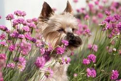 Portrait of cute Yorkshire Terrier in the garden