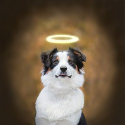 Portrait of cute young Australian Shepherd dog smiling. Dog autumn. Beautiful Aussie looking away. The dog in the form of an angel with a Golden halo over his head. Banner dog.