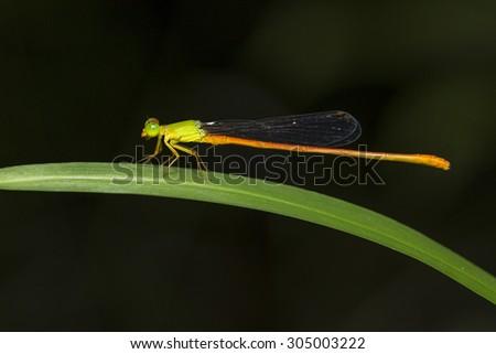 Portrait of damselfly - Orange-tailed Sprite (Ceriagrion auranticum ryukyuanum) #305003222