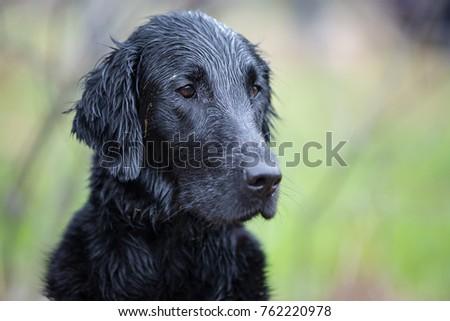 Portrait of dog breed Flat Coated Retriever #762220978