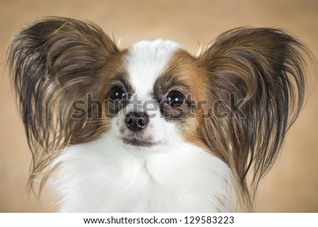Portrait of dog breeds Papillon close up on a beige background