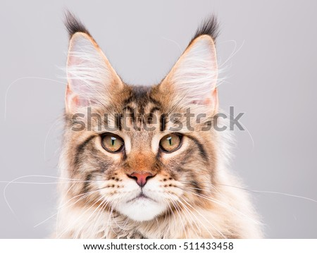 Portrait of domestic black tabby Maine Coon kitten. Cute young cat on grey background. Close-up studio photo of striped kitty looking at camera. - Shutterstock ID 511433458