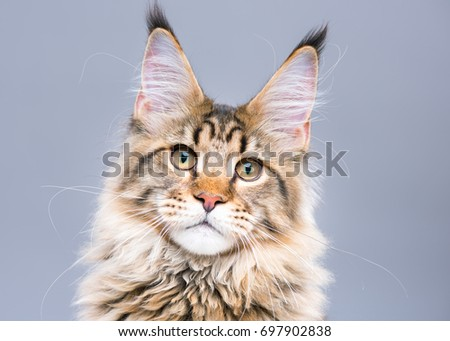 Portrait of domestic black tabby Maine Coon kitten. Cute young cat on grey background. Close-up studio photo of striped kitty looking at camera. - Shutterstock ID 697902838