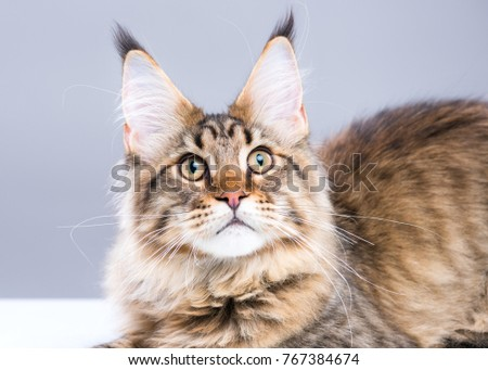 Portrait of domestic black tabby Maine Coon kitten. Cute young cat on grey background. Close-up studio photo of striped kitty looking away. - Shutterstock ID 767384674