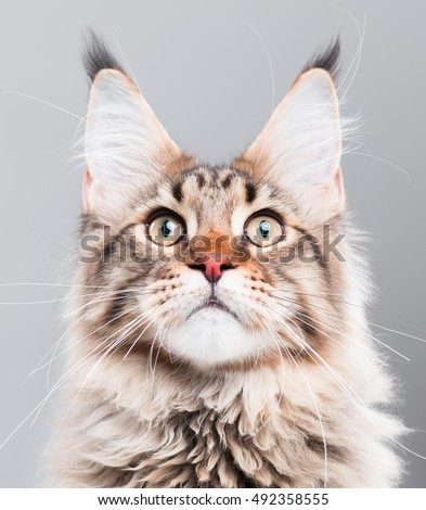 Portrait of domestic black tabby Maine Coon kitten - 5 months old. Close-up studio photo of funny striped kitty looking up. Cute young cat on grey background. - Shutterstock ID 492358555