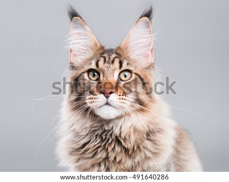 Portrait of domestic black tabby Maine Coon kitten - 5 months old. Close-up studio photo of striped kitty looking at camera. Cute young cat on grey background. - Shutterstock ID 491640286