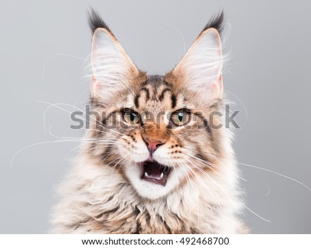 Portrait of domestic black tabby Maine Coon kitten - 5 months old. Cute striped kitty looking at camera. Beautiful young cat make funny face on grey background. - Shutterstock ID 492468700