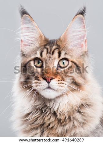 Portrait of domestic black tabby Maine Coon kitten - 5 months old. Cute striped kitty looking away. Beautiful young curious cat on grey background. - Shutterstock ID 491640289