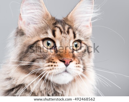 Portrait of domestic black tabby Maine Coon kitten - 5 months old. Extreme close-up studio shot beautiful kitty - focus on eyes. Cute young curious cat on grey background.  - Shutterstock ID 492468562