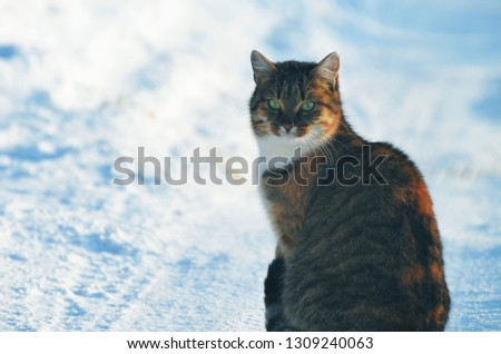 Portrait of domestic cat sitting,winter,photo