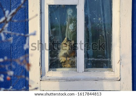 Portrait of domestic funny cute mottled mongrel kitten sitting behind the tulle on window sill of village cabin with old wooden frames and looking outside. Outside view