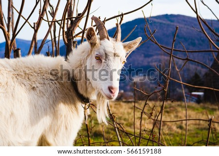 Portrait of domestic goat in mountains