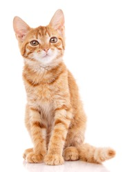 Portrait of domestic red kitten. Cute young cat sitting. Curious young orange striped kitty isolated on white background