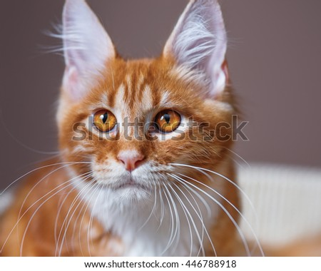 Portrait of domestic red Maine Coon kitten, 3,5 months old - Shutterstock ID 446788918